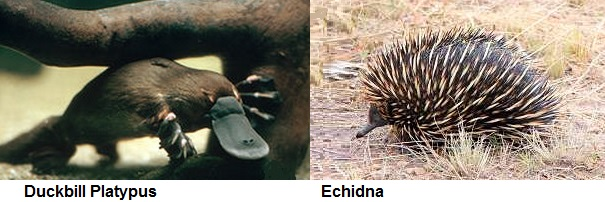 platypus and echidna