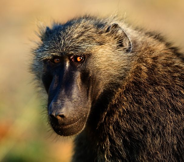 olive baboon closeup