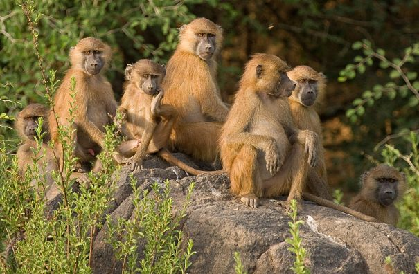 yellow baboons