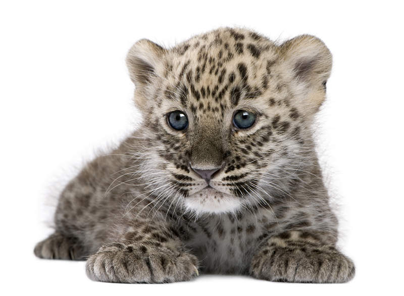 Baby Leopard Animal Facts Encyclopedia