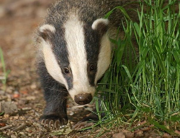 European or new world badger