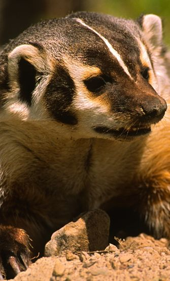 portrait of an American Badger