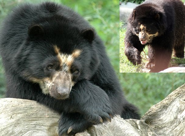 spectacled or Andean bear