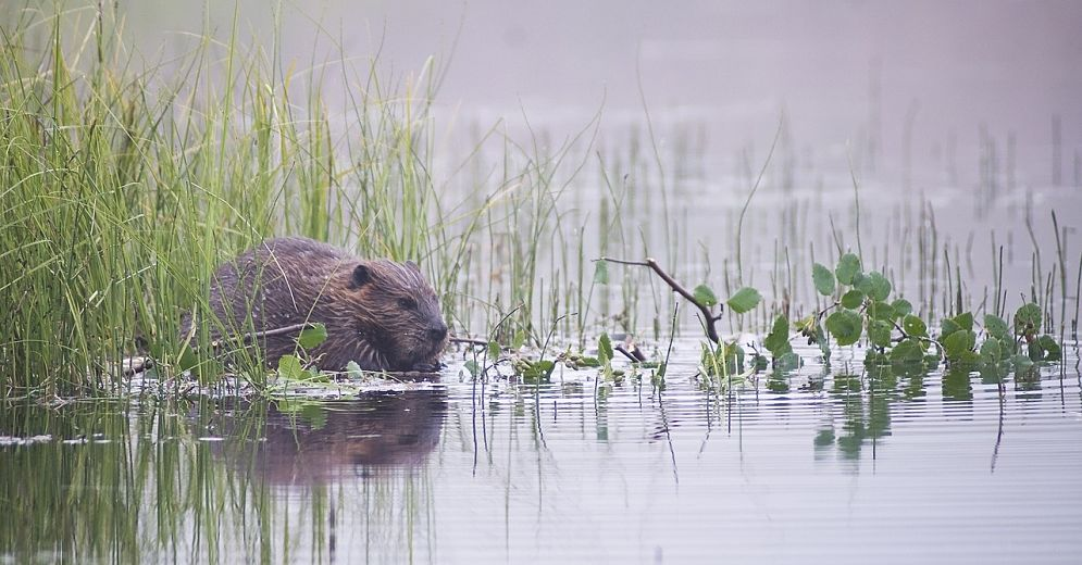 beautiful beaver