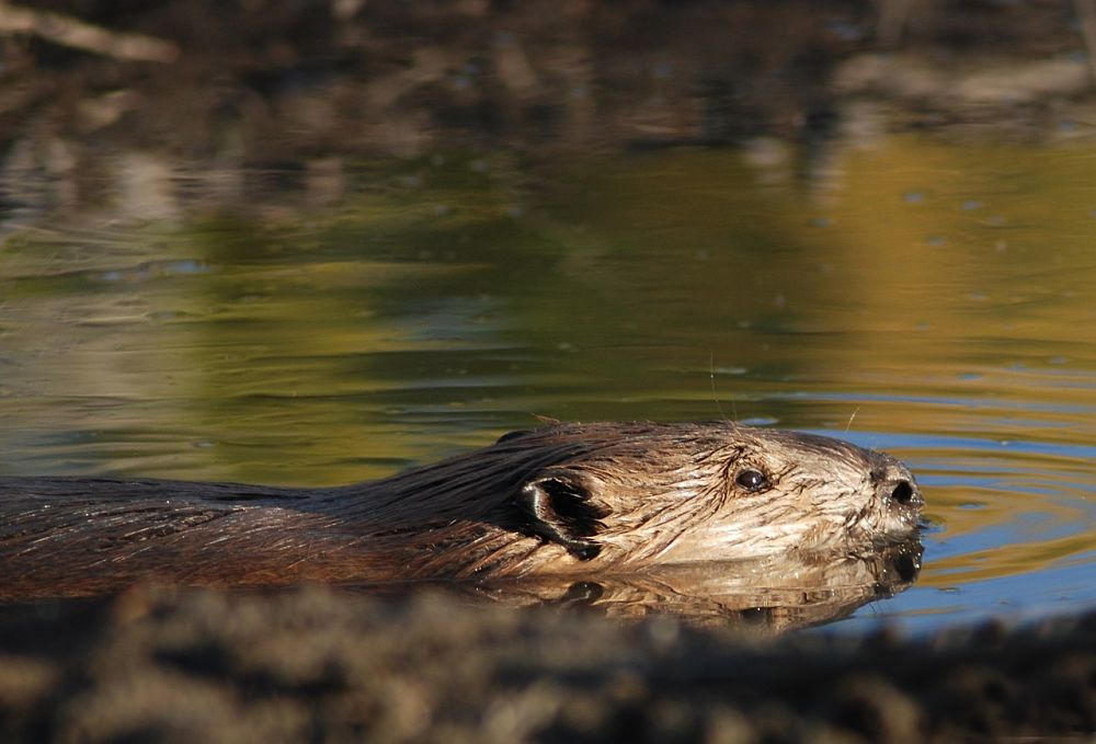 beaver swimming in sunshine