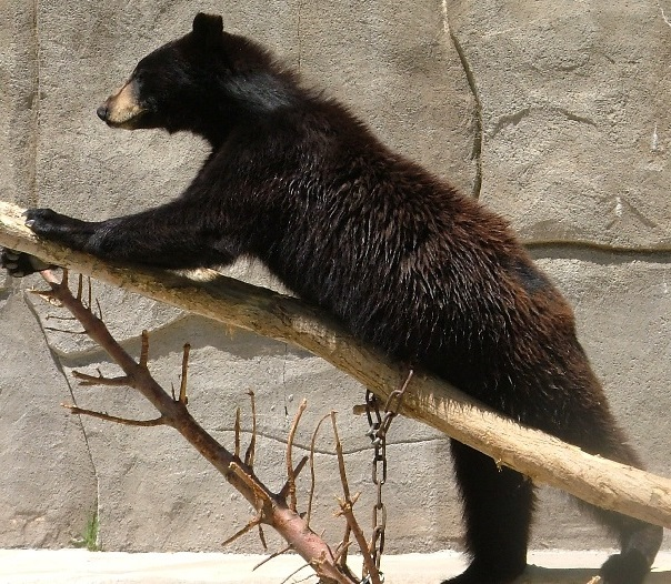 black bear in zoo