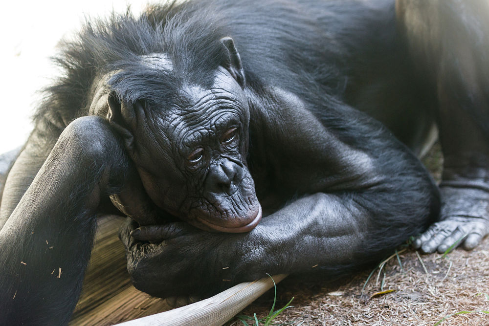 thoughtful bonobo