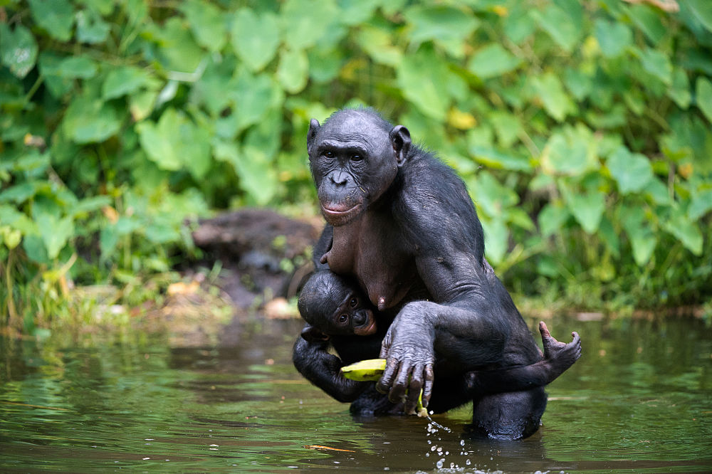 female bonobo with baby and a banana
