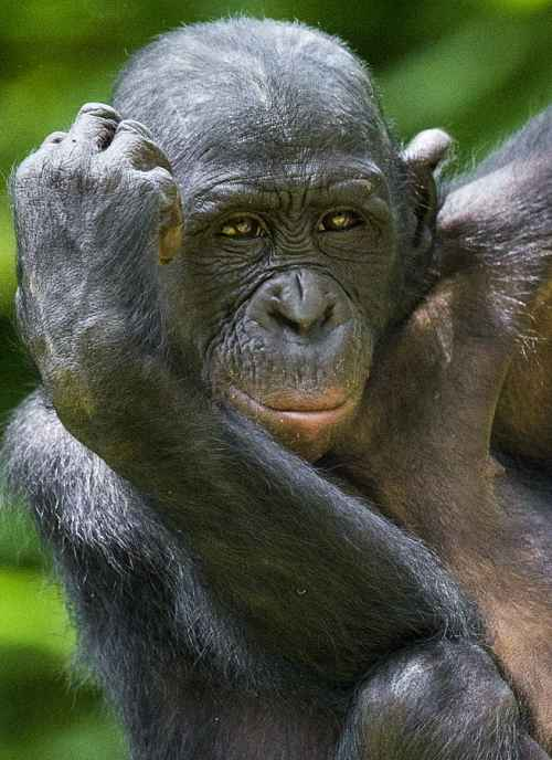 portrait of a bonobo