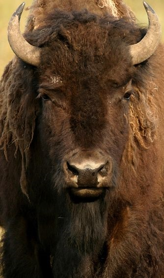 portrait of an American Bison