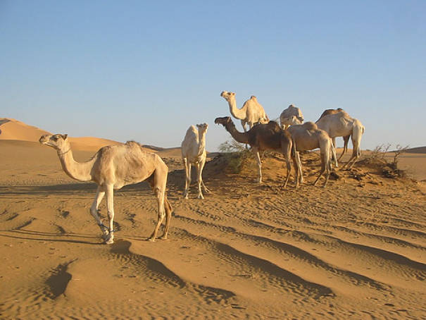 Dromedary camels in the Sahara