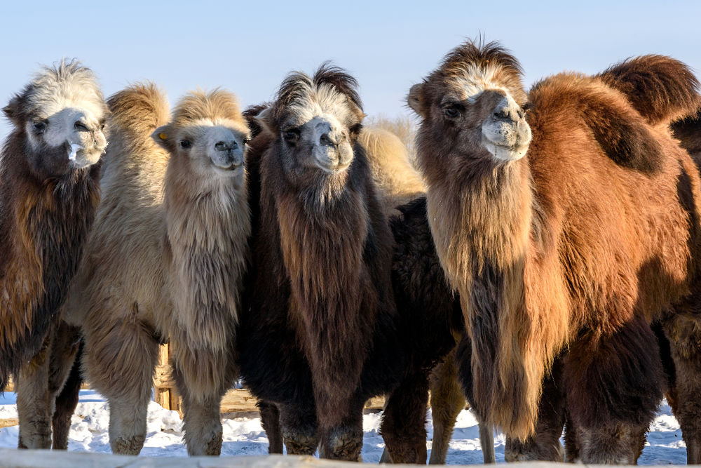 Bactrian camels in the snow