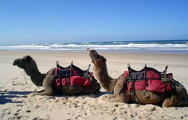 camel has a Coke on the beach