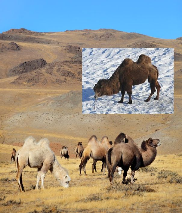 wild bactrian camels in Gobi desert summer and winter