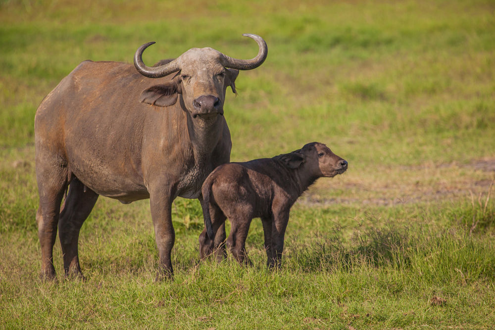 Cape buffalo mother and baby