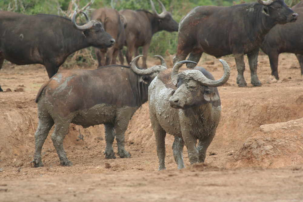 cape buffalo in mud