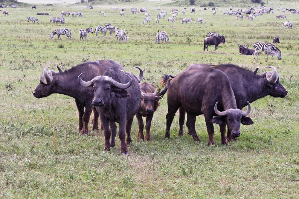 African buffalo adults protecting calf