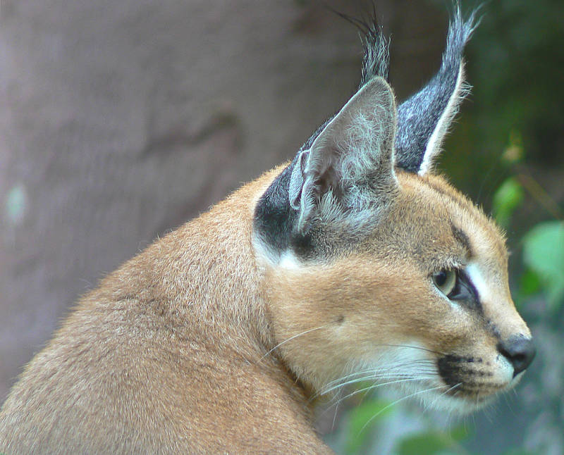 caracal extreme close-up
