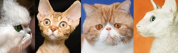 diverse skulls - Persian, Devon Rex, Exotic Shorthair, Cornish Rex