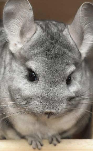 Chinchilla Portrait