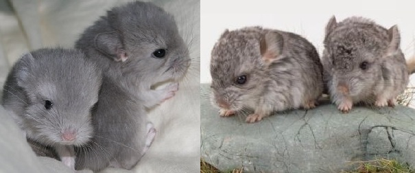 chinchilla babies
