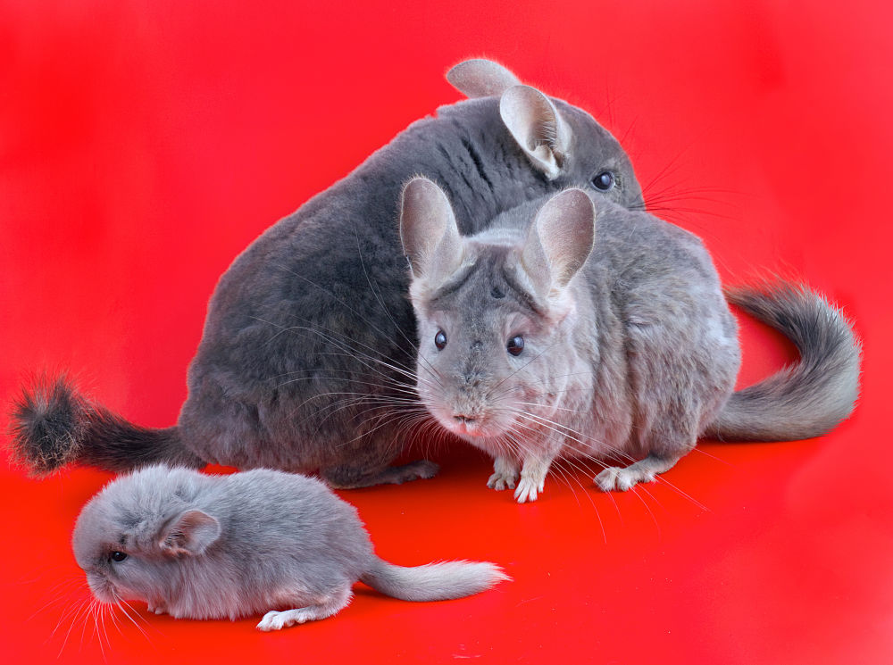chinchilla family