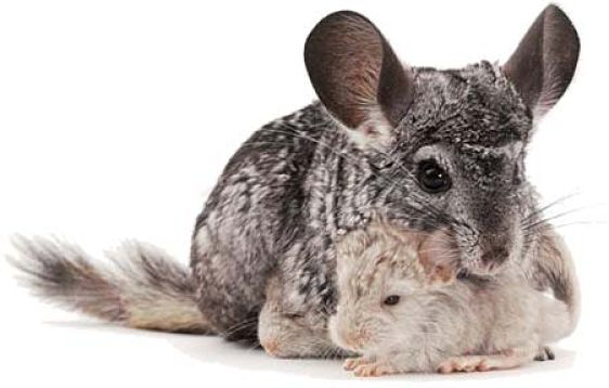 chinchilla mother and babies