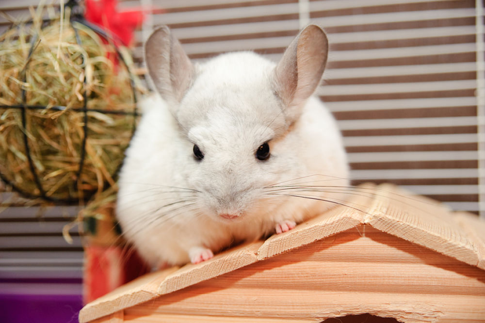 pet white chinchilla