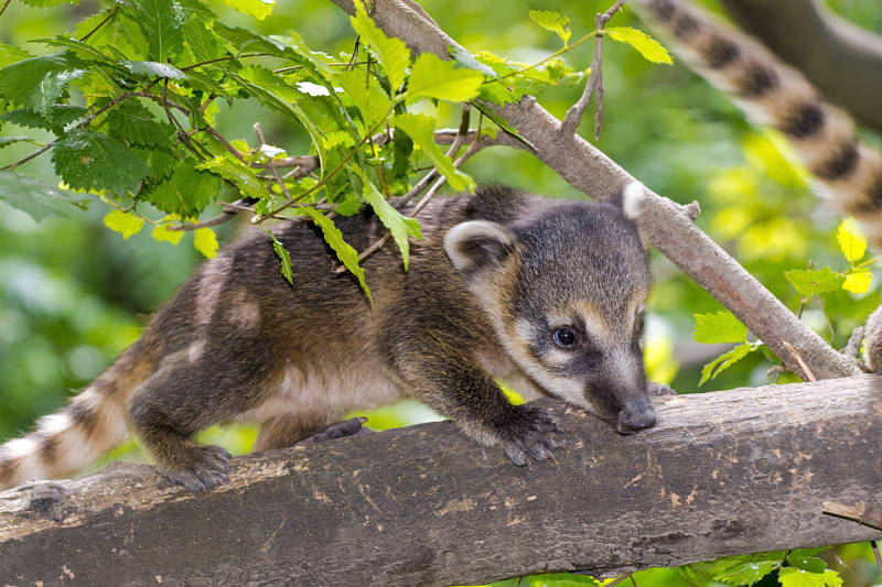 Mexican raccoon or Snookum bear baby