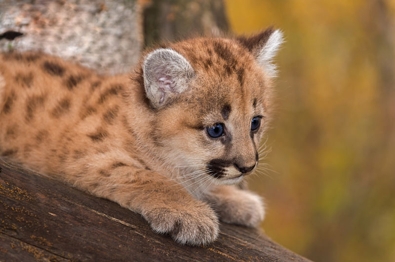 cougar facts animal facts encyclopedia. Black Bedroom Furniture Sets. Home Design Ideas