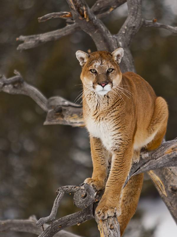 cougar story
