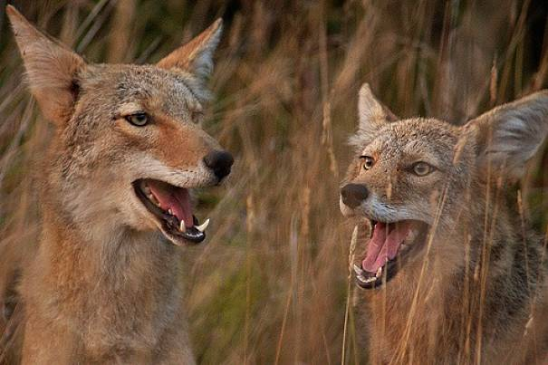 Coyote Facts Animal Facts Encyclopedia