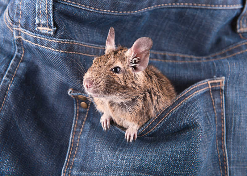 degu in a pocket
