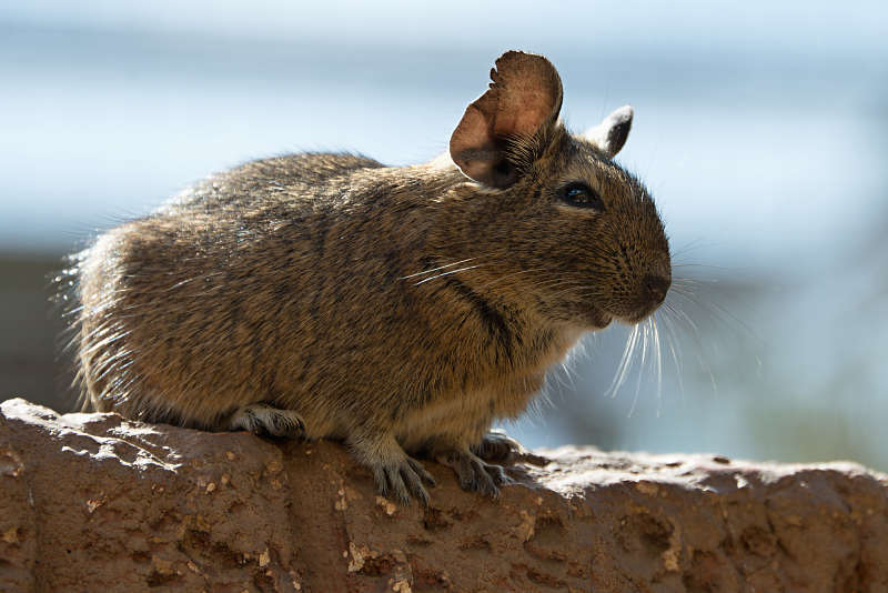 degu in the wild