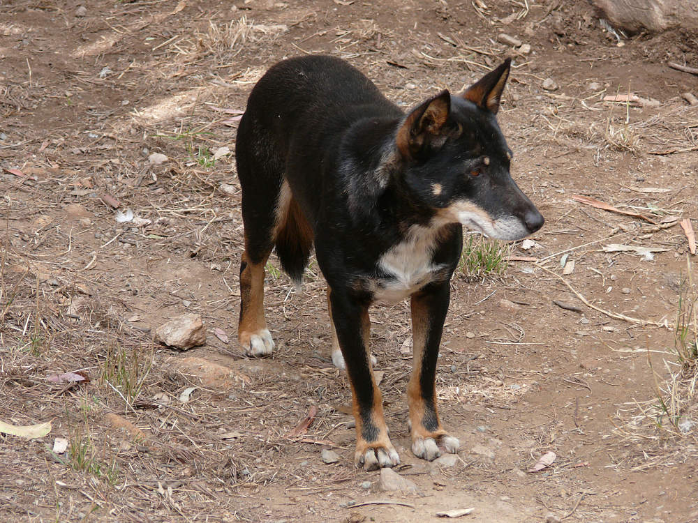 black and tan dingo