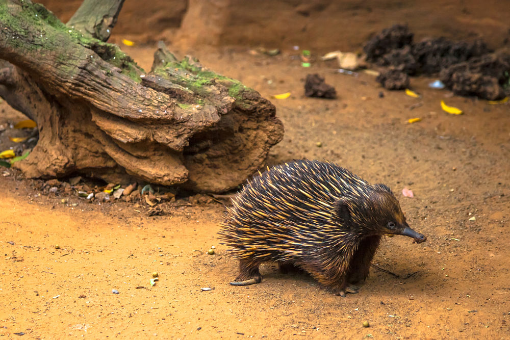 echidna by log