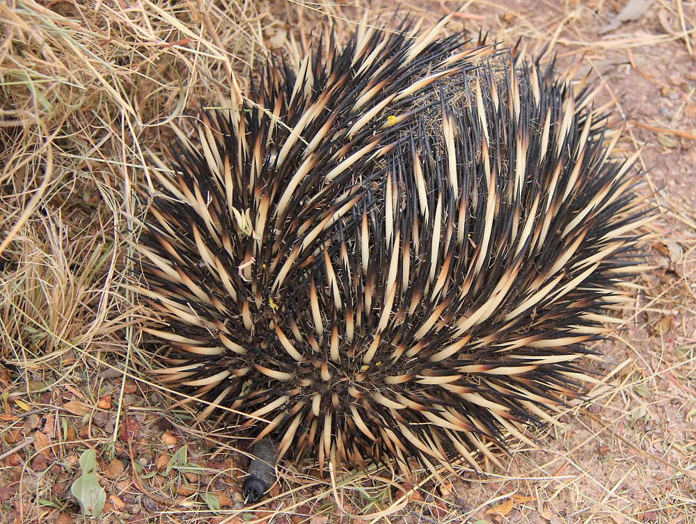 echidna rolled in a ball