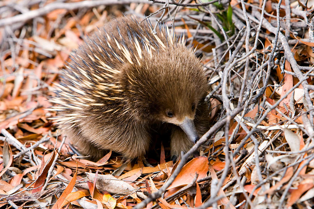 echidna in the leaves
