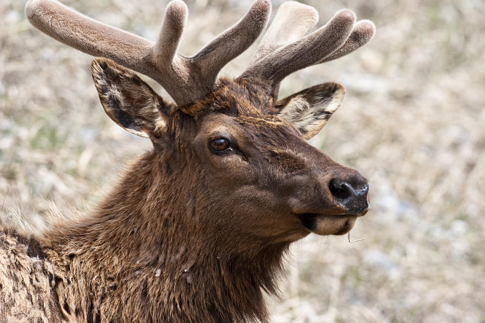 Elk Facts Animal Facts Encyclopedia