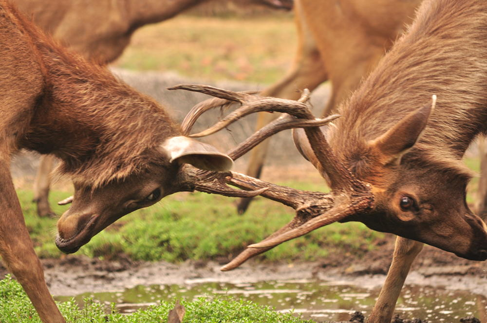 elk fight closeup