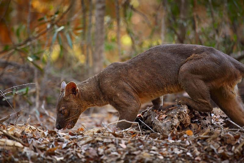 hunting fossa