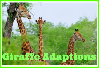 giraffe adaptions
