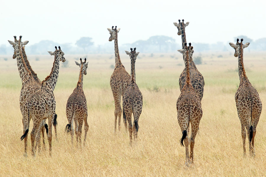herd of Masai giraffes