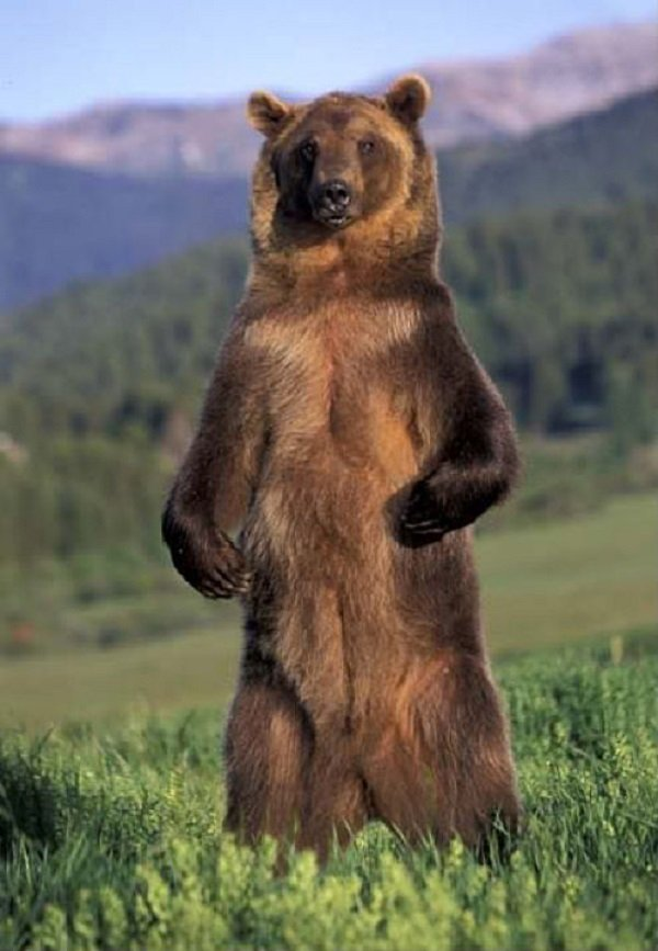 grizzly bear standing