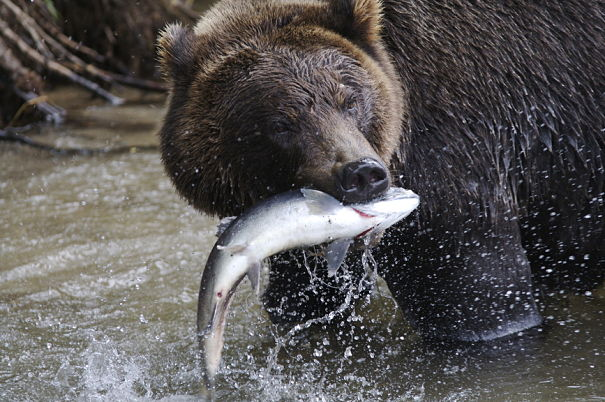 The Grizzly Bears Who Live On Coast Of Alaska Enjoy A Bounty Food In Short Summer Months