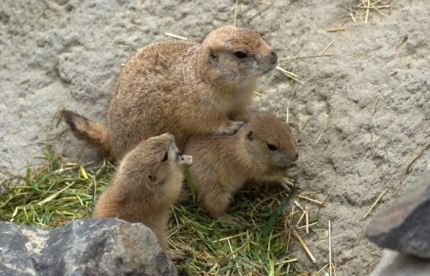 groundhog mother and babies