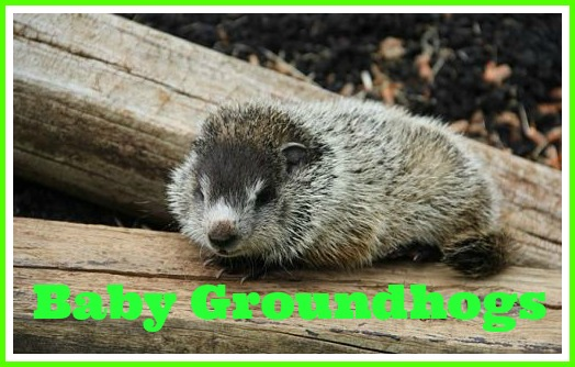 learn about baby groundhogs