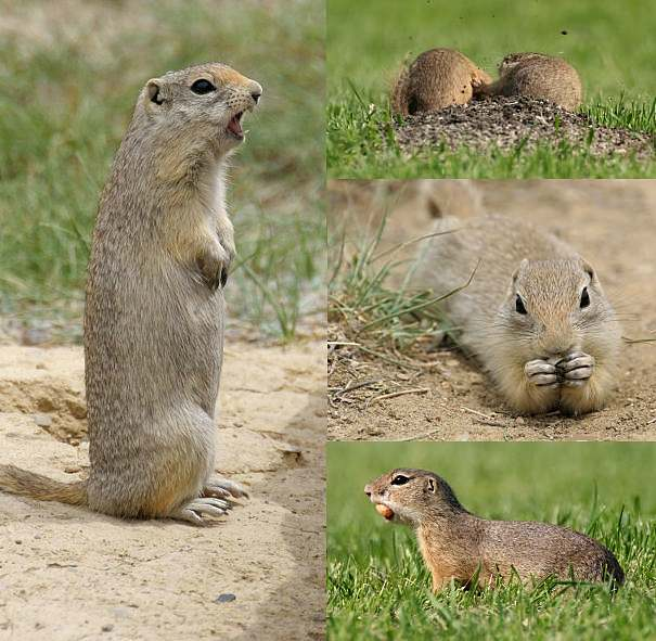 groundsquirrels