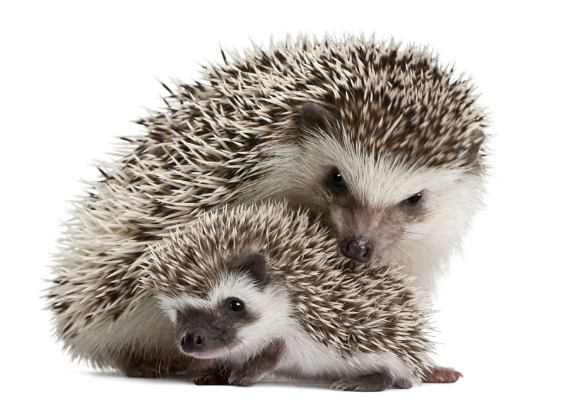 hedgehog mommy and baby