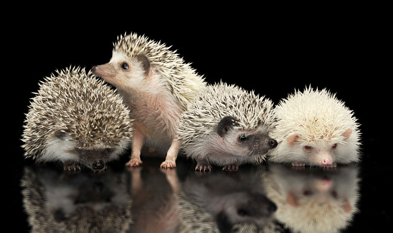 hedgehog group